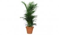 Areca Palme in verschiedenen Größen
