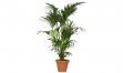 Kentia Palme in verschiedenen Größen